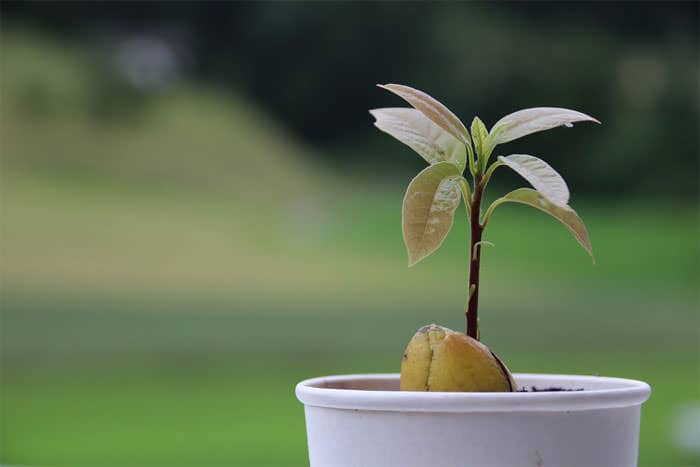 Regrow Fruits - Avocado